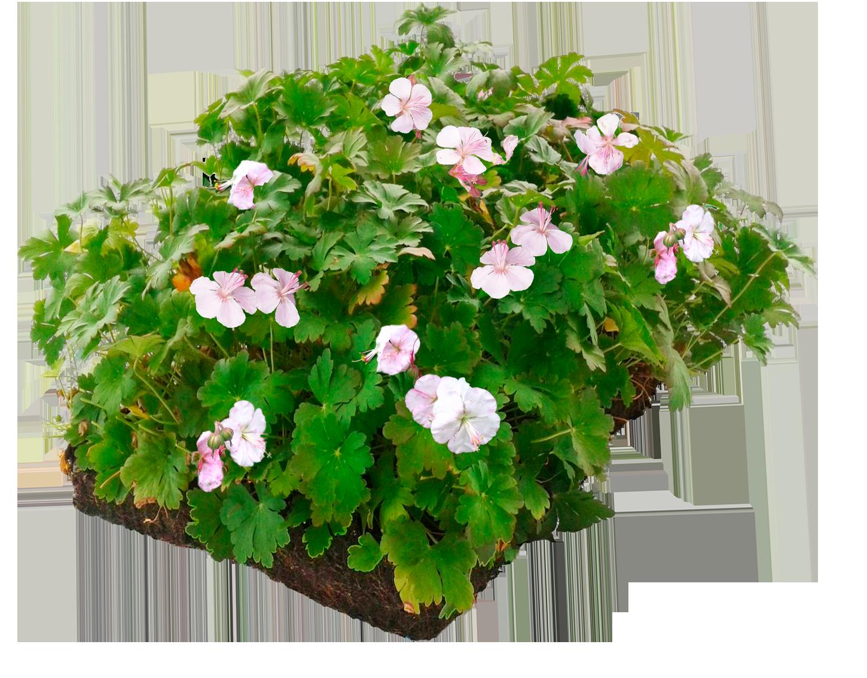Covergreen® Geranium biokovo