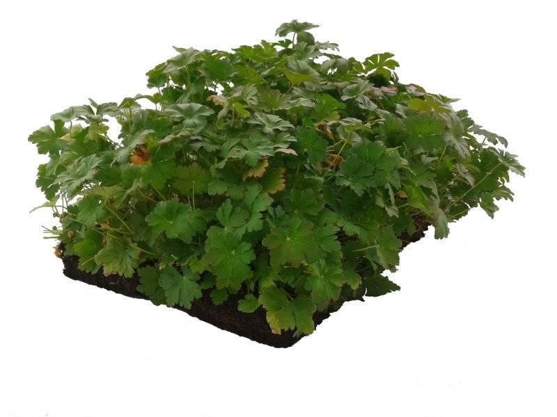 Covergreen Geranium Biokovo