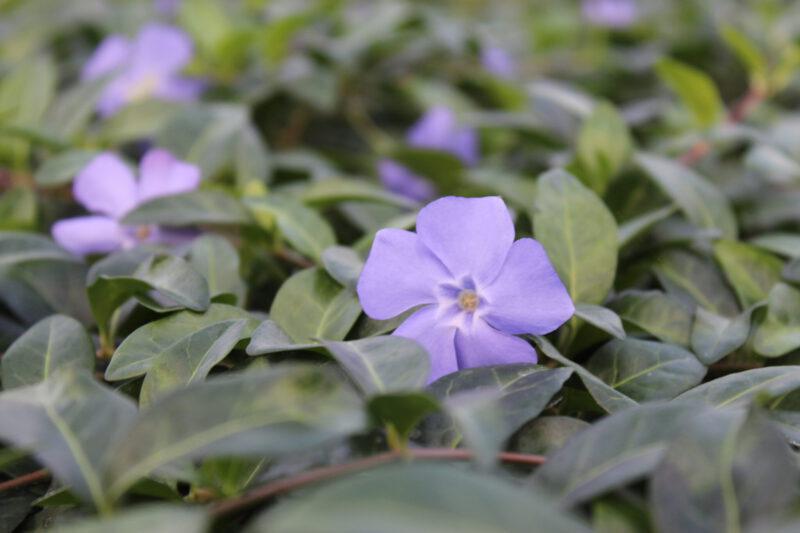 Vinca minor bloei