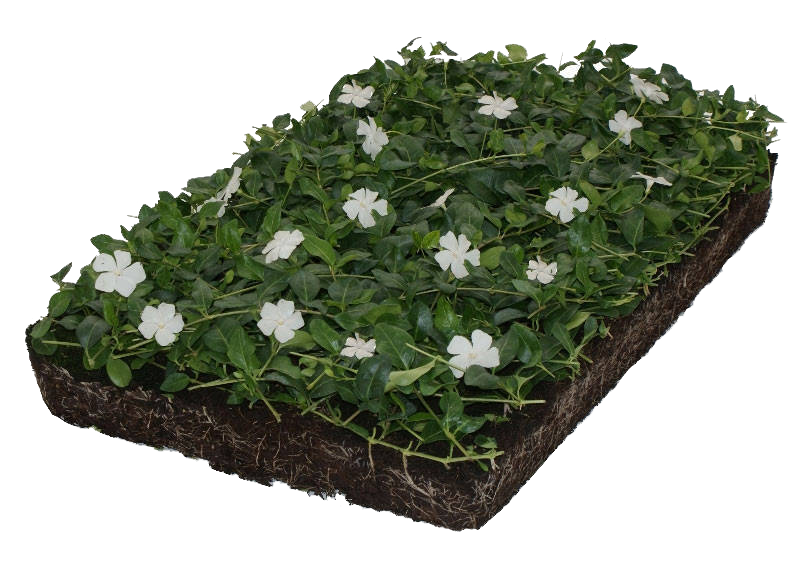 Covergreen Vinca minor 'Alba'