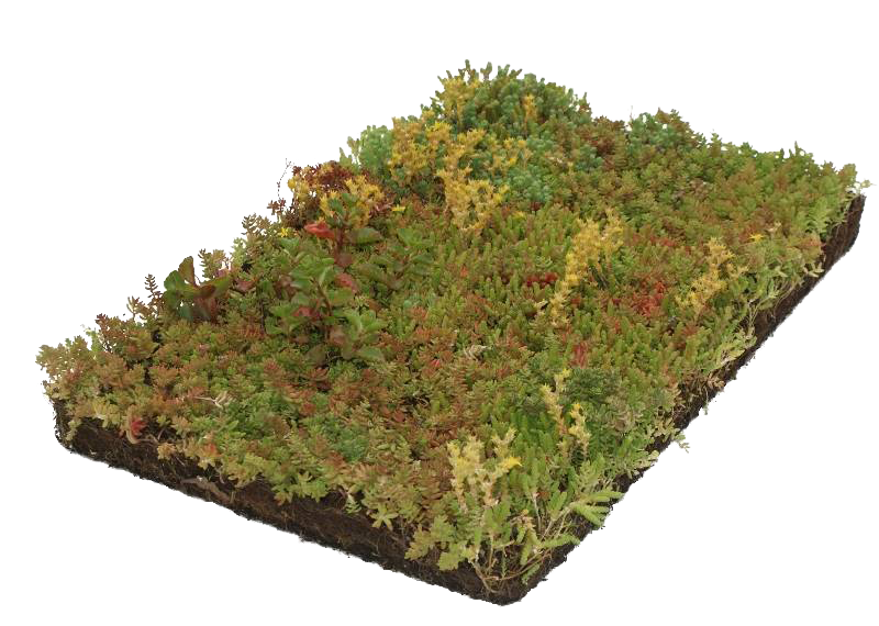 Covergreen Sedum