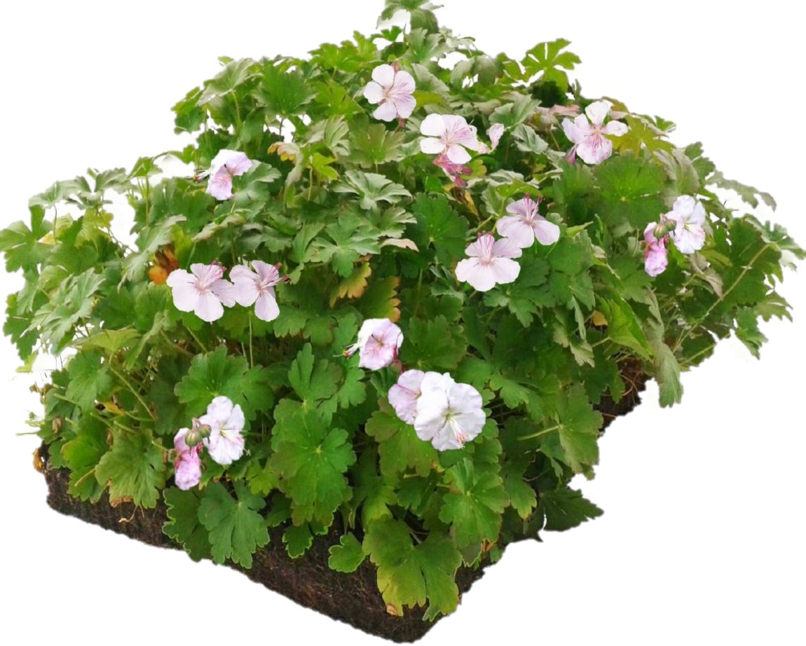 Covergreen Geranium