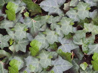 Covergreen Hedera