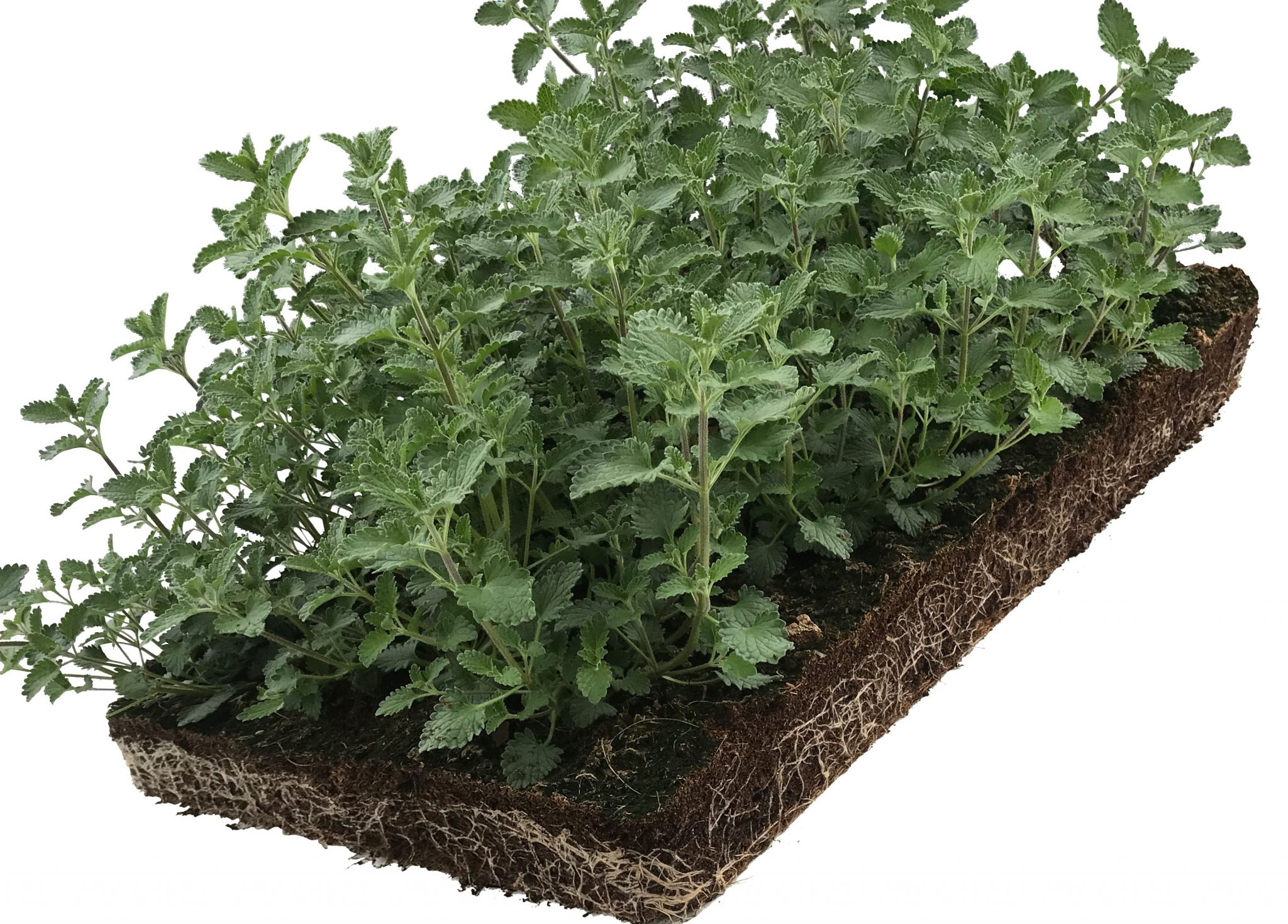 Covergreen nepeta
