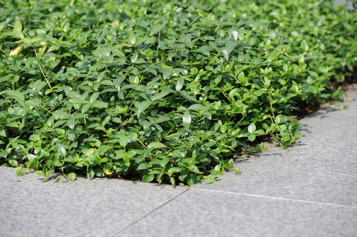 Onderhoudsvrije tuin met Vinca minor plantmatten