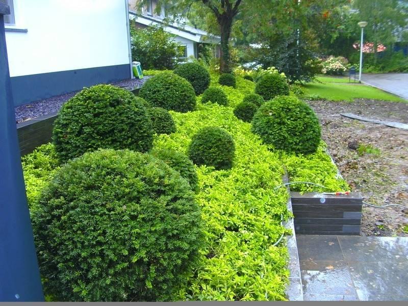 Pachysandra terminalis plantenmat covergreen