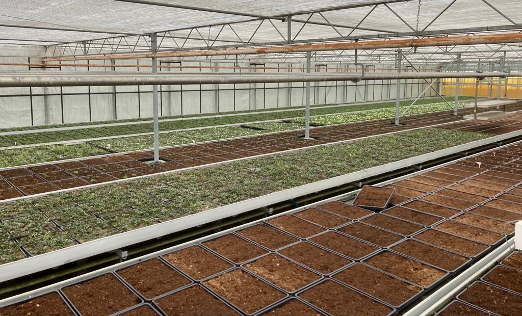 Geranium and lesser periwinkle in Greenhouse