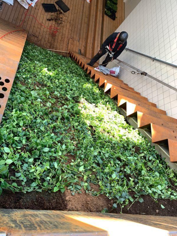 Vinca minor en Waldsteinia ternata tuintrap